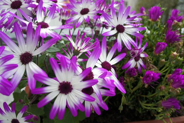 Violette Balkonblumen