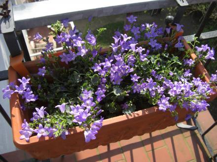 Zartes Violett für den Balkon