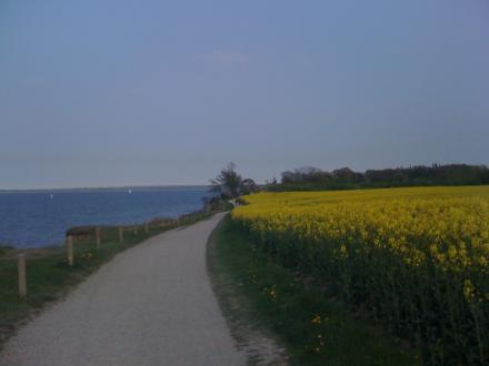 Rapsfeld in Niendorf an der Ostsee