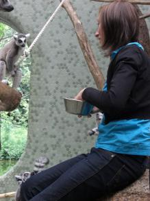 Kattas Füttern im Zoo